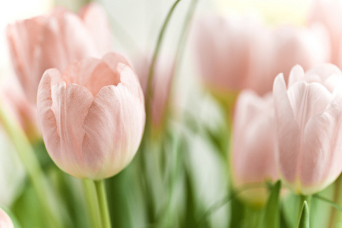 oneofakindprincess:  Tulips are so pretty & simple.