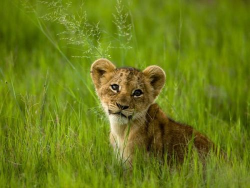 African Lion Cub by Beverly Joubert