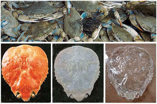 All things transparent..   Japanese biologists have turned a crab's shell transparent in groundbreaking research that may hold the future of flat panel displays, solar cells and bendy screens.  Chitin me? via un via curiositycounts