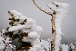 "Forest at 11,000 Feet""Wind Blown Ice on Alpine Trees, Snowy Range Mountains, Wyoming""  This is what a forest looks like at 11,000 feet in June on the Medicine Bow Peak Trail on the way to the peak of the Snowy Range Mountains in Wyoming. The wind is always whipping down the slopes from the west and causes these (what I call) 'ice bullets' in one direction. Its amazing that these hardy trees survive this battering every winter (or should I say spring)."
