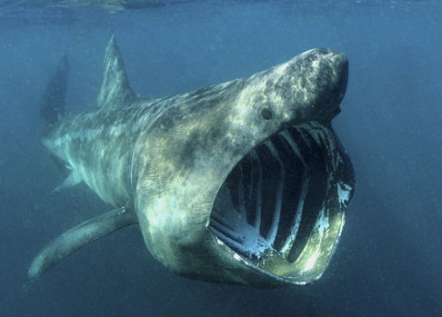 (Photo by Alan James) Basking sharks (Cetorhinus maximus) are  recognized by their huge sizes, conical snouts,  extremely large gill slits, and dark bristle-like gill rakers inside the  gills (present most of the year). Basking sharks are the second largest fish, only surpassed by the whale shark. Their  average size is 6.7-8.8m. The largest measured basking shark was 9.75m, and a 9.14m long individual was recorded that weighed 3,900kg. There are also unconfirmed reports of basking sharks up to 13.7m long. The basking shark can open its cavernous mouth up to 1.2m wide, allowing water to pass over the gill rakers, which strain  small fishes and invertebrates out of the water. They are often seen  feeding near the surface. Basking shark populations have been declining since the 1970s; they  never fully recovered from the large scale commercial fisheries of the  1950s and remain over-fished in the North Atlantic. Though you might want to steer clear of its mouth, the basking shark is not considered dangerous. (Source)