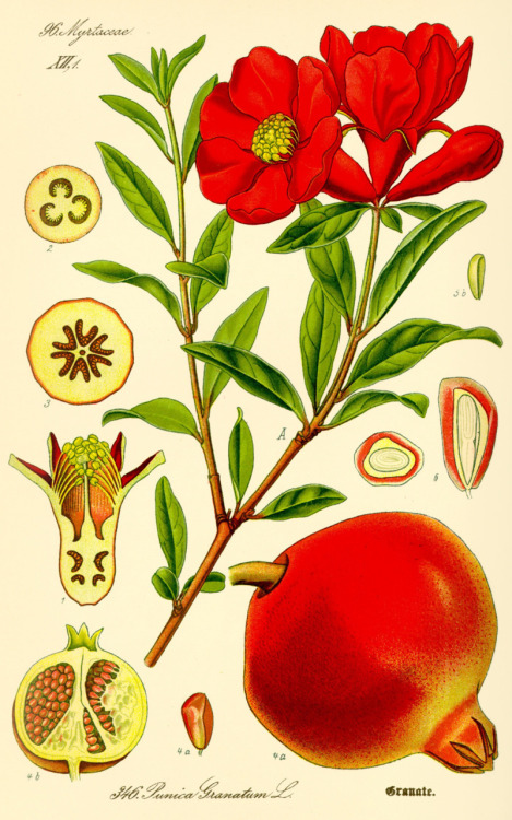rhamphotheca:  Pomegranate (Punica granatum) - Family Lythraceae from Prof. Dr. Otto Wilhelm Thomé's Flora von Deutschland, Österreich und der Schweiz, 1885  Beautiful. A friend reminded me earlier this week about a video I taped for NPR.org several years ago: How to get the seeds out of a pomegranate, without ruining your shirt. See it here, if you're interested! —Sarah
