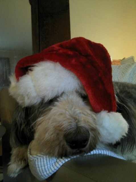 this is my Sheepdog Taggart as Santa….