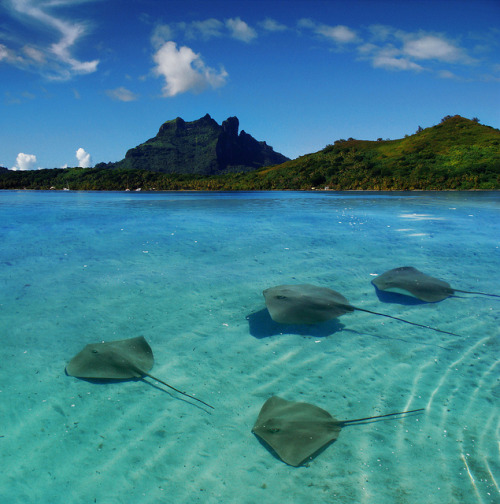 theoceaniswonderful:  Stingray in Bora Bora by Samantha T. on Flickr.