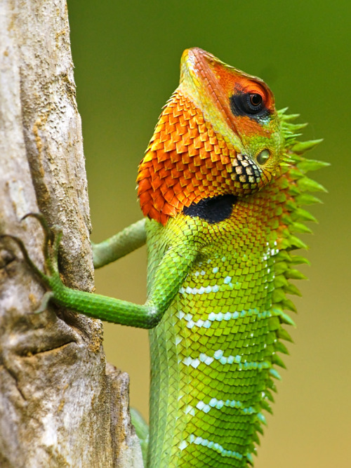 feralcadence:  Green Forest Lizard by David Cook Wildlife Photography