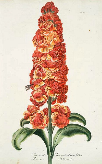 Georg Dionysius Ehret Gillyflower 18th century