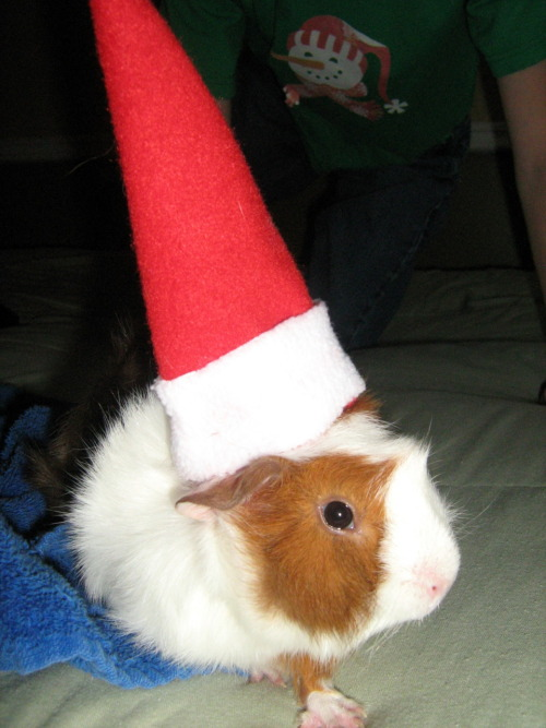 MERRY CHRISTMAS! I SPENT ALL THIS TIME MAKING MY HAT AND EVERYTHING. wait… guinea pig concepts of time.
