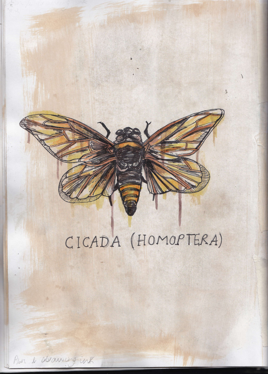 nicoohlala:  A drawing I did of a Cicada in the Cambridge Museum Of Zoology