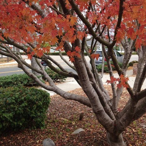 Leaves change color in SoCal? #fall #nature #nofilter #winterinsantabarbara (Taken with instagram)