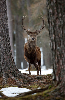 mentalfornication:  248 - Red deer by Sera.D. on Flickr.