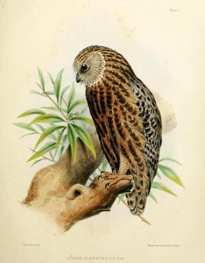 Athene albifacies (now Sceloglaux albifacies) - The Laughing Owl This now-extinct owl of New Zealand was in a monotypic genus (meaning there was only one species in the genus), and was one of the most genetically distinct owls, having been isolated from other Strigidae for longer than any other genus. Collection of the owls for museums, food, and predation by introduced animals led to their extinction sometime around 1912. Interestingly, these owls actually adapted surprisingly well to the intrusion of introduced species such as rats. They weren't ground-nesters, so their eggs weren't threatened by the fat Norway rats that were not as keen on climbing as other rats were, and the big rats made a fine meal for owlets. So really, their extinction was caused by direct predation by humans. The Zoology of the Voyage of the H.M.S. Erebus & Terror, 1839-1843. John Richardson and J. E. Gray, 1845.