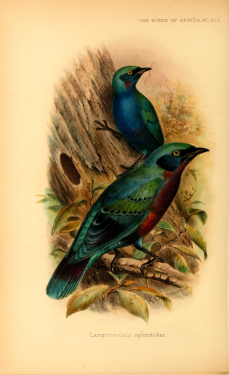 The Splendid Starling (Lamprotornis splendidus), also known as the Splendid Glossy-starling  From: 'The birds of Africa, comprising all the species which occur in the Ethiopian region' (Vol. 5 Pt 1) by G.E. Shelley
