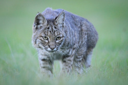 The Bobcat by toryjk on Flickr.