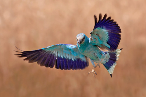 fairy-wren:  indian roller photo by falcon