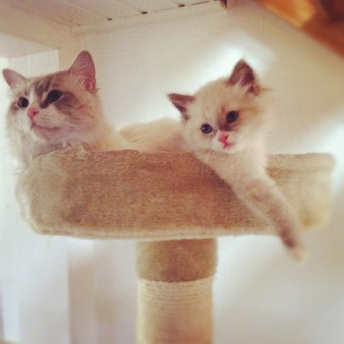 #rag-doll#kittens#adorable #to#cute#sweet#out#cats#siblings#sweet#white#baby#faces#fur#loving#lovable#to#much  (Taken with instagram)