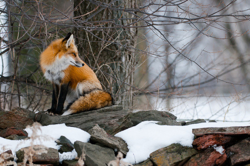 I love foxes sooo much.