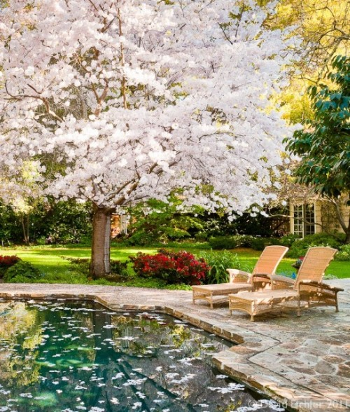 A magical backyard spot features a flowering tree, lovely landscaping, and a serene swimming pool (via David Eichler Photography)