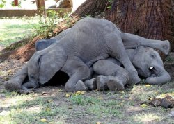 funnywildlife: Babies elephants after eating too many ripe marula fruits!!!!
