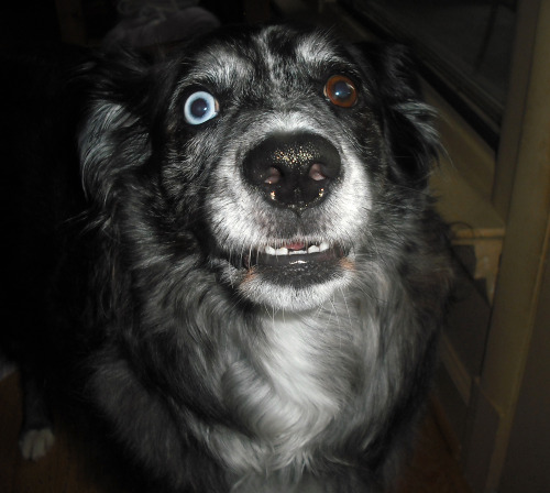 Roxie, my Aussie. She crazy.
