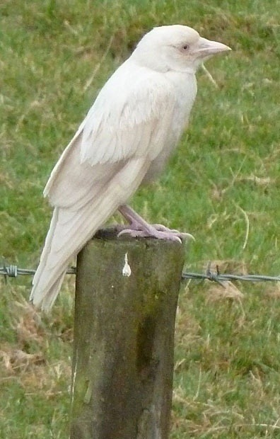 super great: albino crow  画