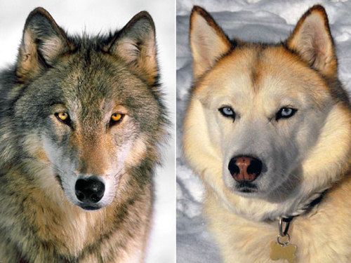 "Wolf-to-dog transition had little to do with humans, ancient skull suggests ""A Canadian researcher who specializes in the biology of ancient dogs co-authored one of the most significant studies of the year in canine science: a paper detailing the world's earliest evidence of an animal in transition from wild wolf to domesticated dog.The ""extraordinary preservation"" of the creature's 33,000-year-old skull — found in a cave in southern Siberia — has helped show that dog domestication ""was, in most cases, entirely natural"" and not really a ""human accomplishment,"" says B.C. evolutionary biologist Susan Crockford.She was part of a six-member team of researchers from Russia, Britain, the U.S. and the Netherlands that turned the clock back on wolf-dog transformations by thousands of years and showed that the phenomenon probably happened many times in many places around the globe."" (from The National Post)."