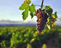 #DrunkSci  What Rising Temperatures MayMean for World's Wine Industry Warming temperatures associated with climate change are already affecting vineyards from France to Chile, often in beneficial ways. But as the world continues to warm, some traditional winemaking regions are scrambling to adapt, while other areas see themselves as new wine frontiers.