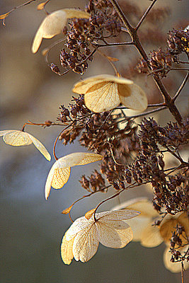 green-home:  Richard Loader: Dead hydrangea flower heads. In the January afternoon sun these dried out dead heads took on a new lease of life