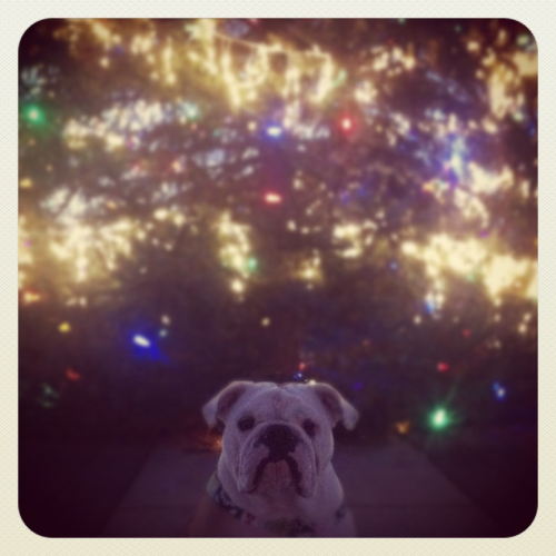 Stella visiting our town Christmas tree! MERRY CHRISTMAS EVE EVE!