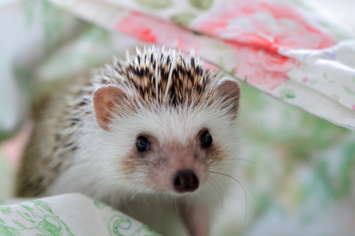 I miss my hedgie <3