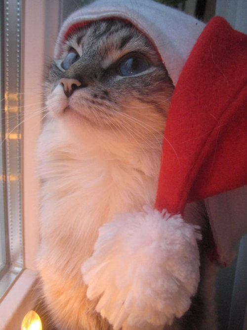 witnbeauty:  Christmas Cat by Mistty002  Meowy Christmas!