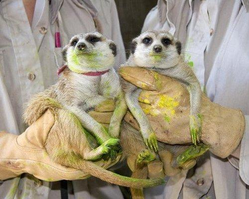 mothernaturenetwork: Awe.  Hari and Hakuna are a pair of artsy meerkats at the San Diego Zoo. The two, seen here, are exhausted after a romp around the canvas with painted paws. It's part of a zoo effort called Art by Animals to raise money for conservation by auctioning off paintings done by resident critters.12 artsy animals that paint