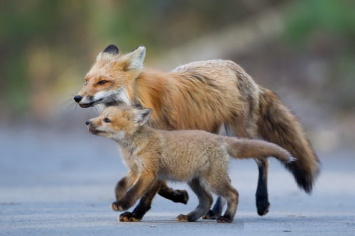 Mama Fox and Baby :) by Halex