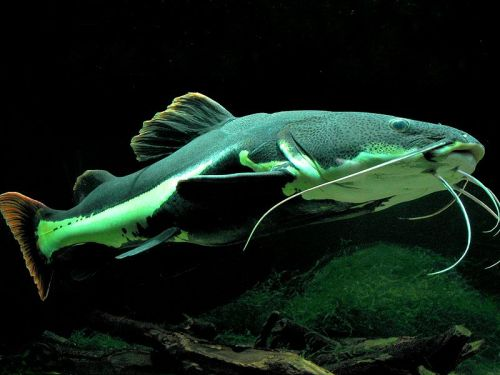 rhamphotheca:  Redtail Catfish (Phractocephalus hemioliopterus)  … a pimelodid (long-whiskered) catfish named for its red or orange caudal fin. In Venezuela it is known as cajaro and in Brazil. It is the only extant species of the genus Phractocephalus. This fish originates from South America.  Despite reaching a large size, this fish is a common aquarium fish. The redtail catfish is native to the Amazon, Orinoco, and Essequibo river basins of South America. It is found only in fresh water… (read more: Wikipedia)   (photo: Monika Betley)