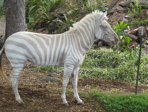 Blonde Plains Zebra (Equus quagga)