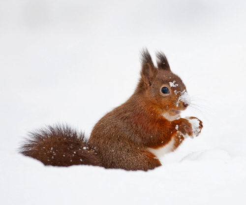 allcreatures:  This red squirrel appears to be making a snowball. The amusing scene was captured by British photographer Simon Phillpotts in the Yorkshire Dales.