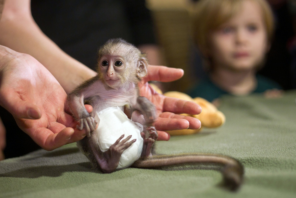 Photos of the dayA nine day old mona monkey is presented by its keeper. Dec. 19, 2011 at the zoo in Magdeburg, eastern Germany. In the wild, the guenons live mainly in western African forests. (Jens Wolf/AFP/Getty Images)