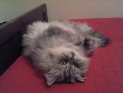 baby-roar:  cutestcats:  This is Rashida! She's a persian. Submitted by: reblogthefrog  you are perfect  no u