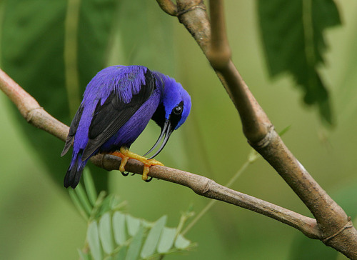 fairy-wren:  purple honeycreeper photo by rainbirder