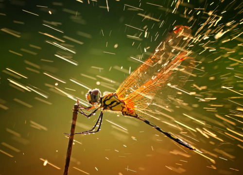 "theatlantic:  Winners of the National Geographic Photo Contest 2011  ""Splashing"", Grand Prize Winner and winner of the Nature category. This photo was taken when I was taking photos of other insects, as I normally did during macro photo hunting. I wasn't actually aware of this dragonfly since I was occupied with other objects. When I was about to take a picture of it, it suddenly rained, but the lighting was just superb. I decided to take the shot regardless of the rain. The result caused me to be overjoyed, and I hope it pleases viewers. Location: Batam, Riau Islands, Indonesia. (© Shikhei Goh)  See more fantastic photos at The Atlantic"