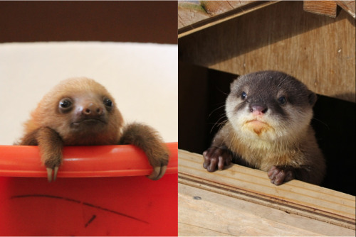 Baby sloth peeking from her bucket (via http://www.Slothville.com) vs. baby otter peeking from his playhouse (via http://www.Dailyotter.com)