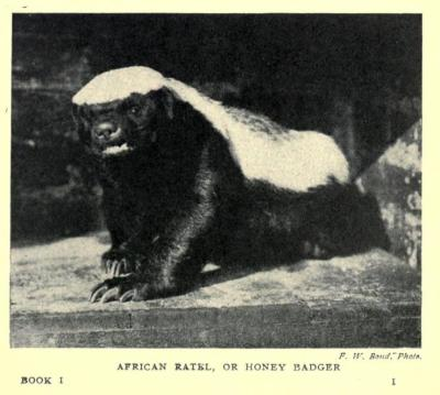 "African Ratel, or Honey Badger The earliest descriptions of the ratel that I can find describe it as a repulsive and lazy creature, with an awkward waddle and thieving ways (as they were thought to steal honey from beehives - no one realized they were after the bee larvae until the turn of the century). Really, no one took much interest in them, and as largely solitary creatures, they weren't the easiest targets for study. Still, by the time this photograph was taken (at the Transvaal Zoological Gardens in Transvaal Colony, South Africa), people that were around the ratel had a hell of a lot more respect for them. It's written that they were fighters with tenacious ways, whose ""waddle"" was caused by the size of their muscles and depth of their chest (lending them great endurance), and that they could dig as well as they could climb. Yes, the Zoological Gardens found that out the hard way. Their ratel apparently escaped at one point. I don't know if this is the escapee or a different one, but he looks fierce. Animal Life in Africa: Book 1, Carnivora. Major James Stevenson-Hamilton, 1912."