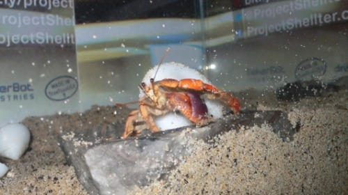 Progress made in hermit-crab housing crisisA project to save hermit crabs with crowd-sourced, 3-D printed shells has its first major success: Crabs are finally using the man-made shells.