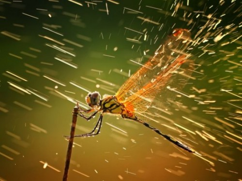 """The Grand-Prize Winner and Nature Winner from National Geographic's 2011 Photo Contest is Shikhei Goh's ""Splashing"":  Arrows of rain seem to pelt a dragonfly in Indonesia's Riau Islands in Shikhei Goh's winning image, ""Splashing."" A sudden rainstorm left Goh with a tough decision: Get his camera wet, or take advantage of the ""superb lighting,"" he wrote with his submission to the 2011 National Geographic Photography Contest. He took the picture, resulting in a ""very striking macrophotography image that rose to the top of the nature category for me because of its originality, beautiful light, rare action in a close-up image, as well as its technical perfection,"" said Tim Laman, one of three National Geographic magazine photographers who judged the contest. ""You can almost feel the dragonfly's experience of bracing itself against the weather,"" said judge Amy Toensing. ""When I look at it, I want to say, Hold on tight little buddy!""  See the rest of the winners here and all of the entries here."""