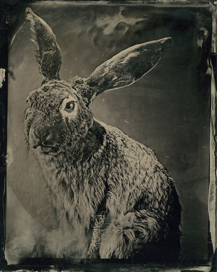 readinganimal:  Mary Frey, Black-Tailed Jack Rabbit, ambrotype, 2009