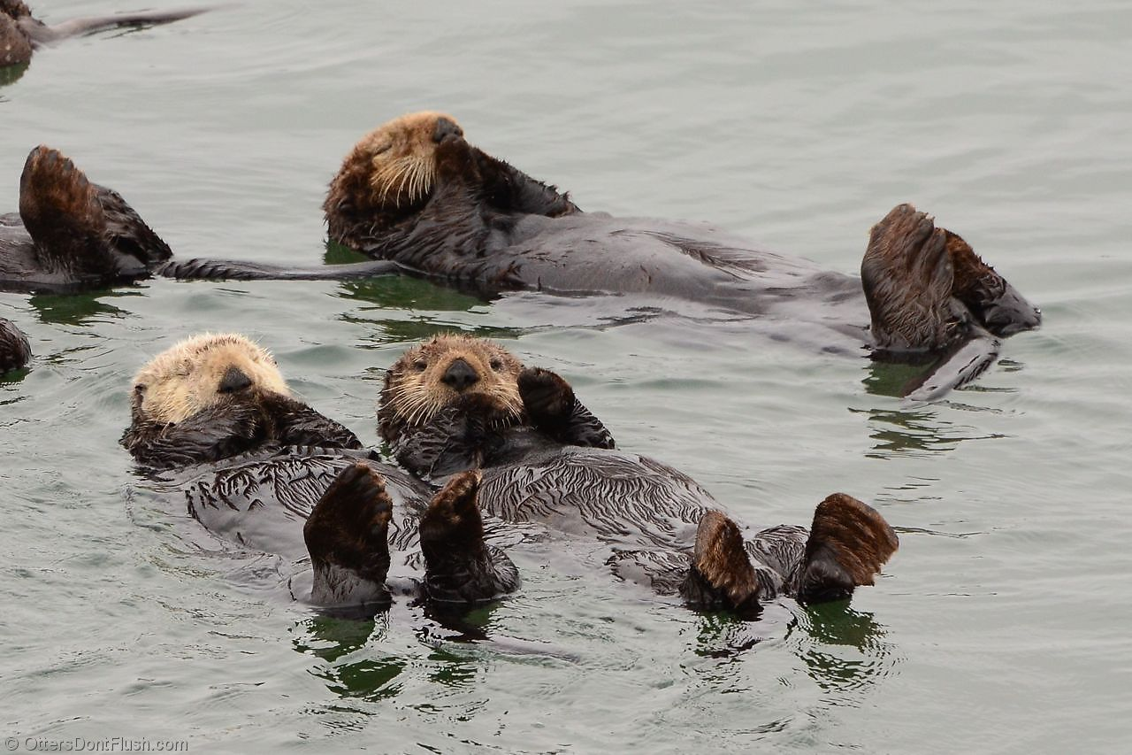 "One sea otter waves ""Hello!"" while another takes a snooze."
