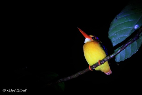 Black-backed Kingfisher (Ceyx erithaca) sleeping on the bank on the Kinabatangan River, Sabah, Borneo.