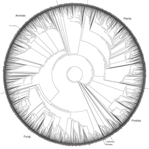 "angstine:  The Hillis Plot - ""The Tree of Life"" Just 3 of the 10 million species on Earth plotted into a circular chart of evolutionary relatedness. Homo sapiens are marked ""You are here"""