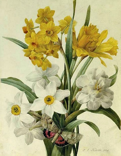 Pierre-Joseph Redouté ~ Daffodils and Narcissi with a Red Underwing Moth,1826