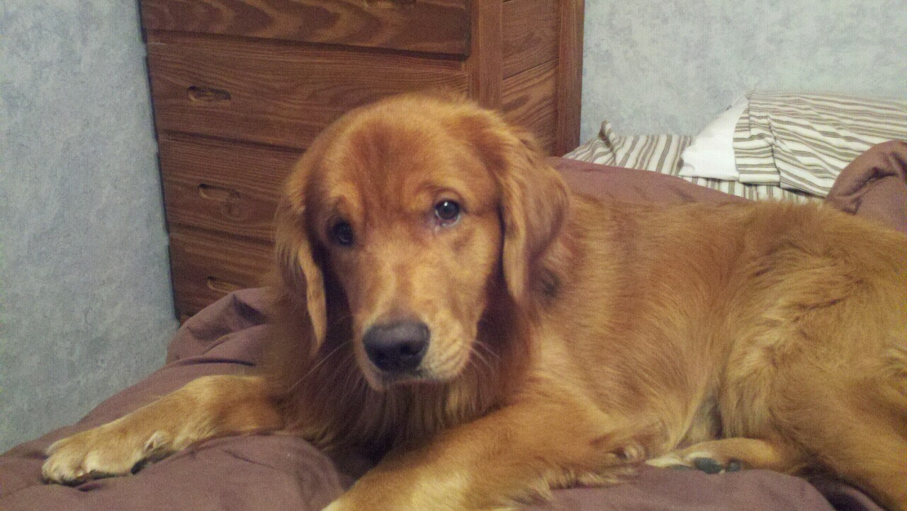 My fully grown Golden Retriever. Still looks like a puppy? Due to a testosterone issue, he's going to forever look like a puppy…All my childhood dreams have come true.