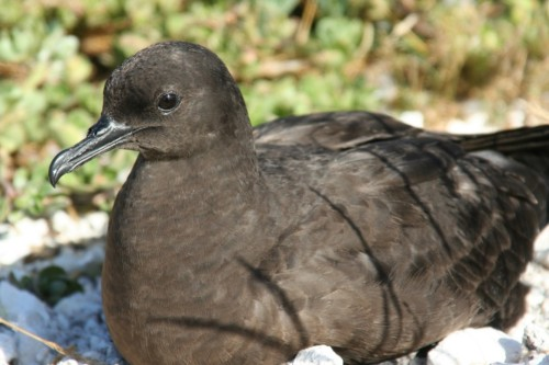 Merry Christmas… Christmas Shearwater (Puffinus nativitatis) that is!   Click on the photo to learn more about the jolliest shearwater of them all…
